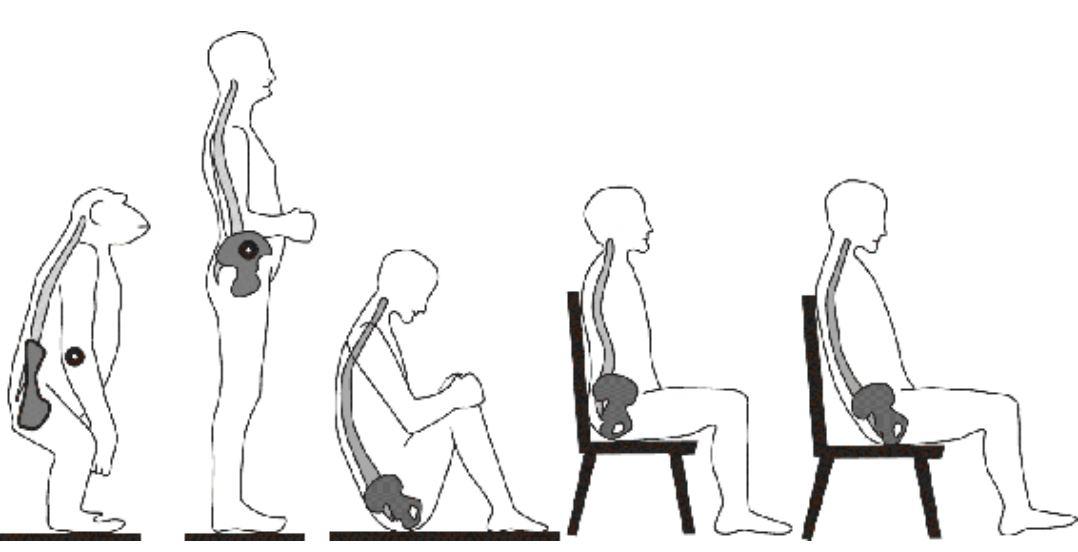 РИС. 5. Позвоночник и таз в положении стоя и сидя. По сравнению с шимпанзе...