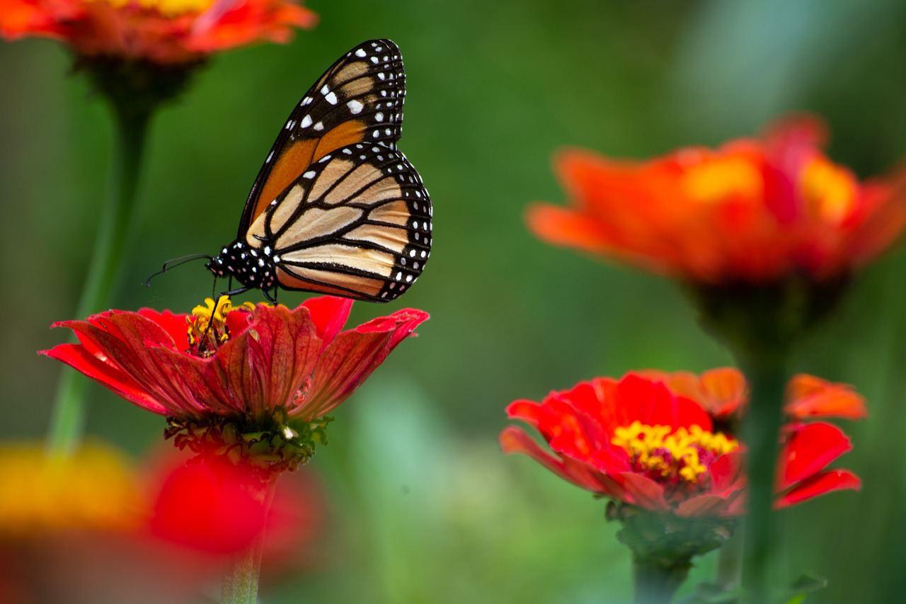  Бабочки Владимира Набокова  Лепидоптерология, или наука о бабочках, была...
